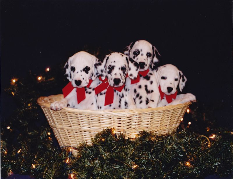 Hollyxfrasier pups