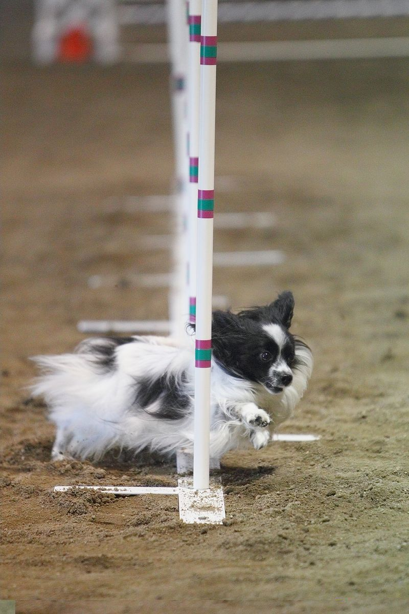 Easy To Spot: Papillon Club of America ~ 2010